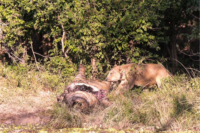 lion-and-hippo-carcas