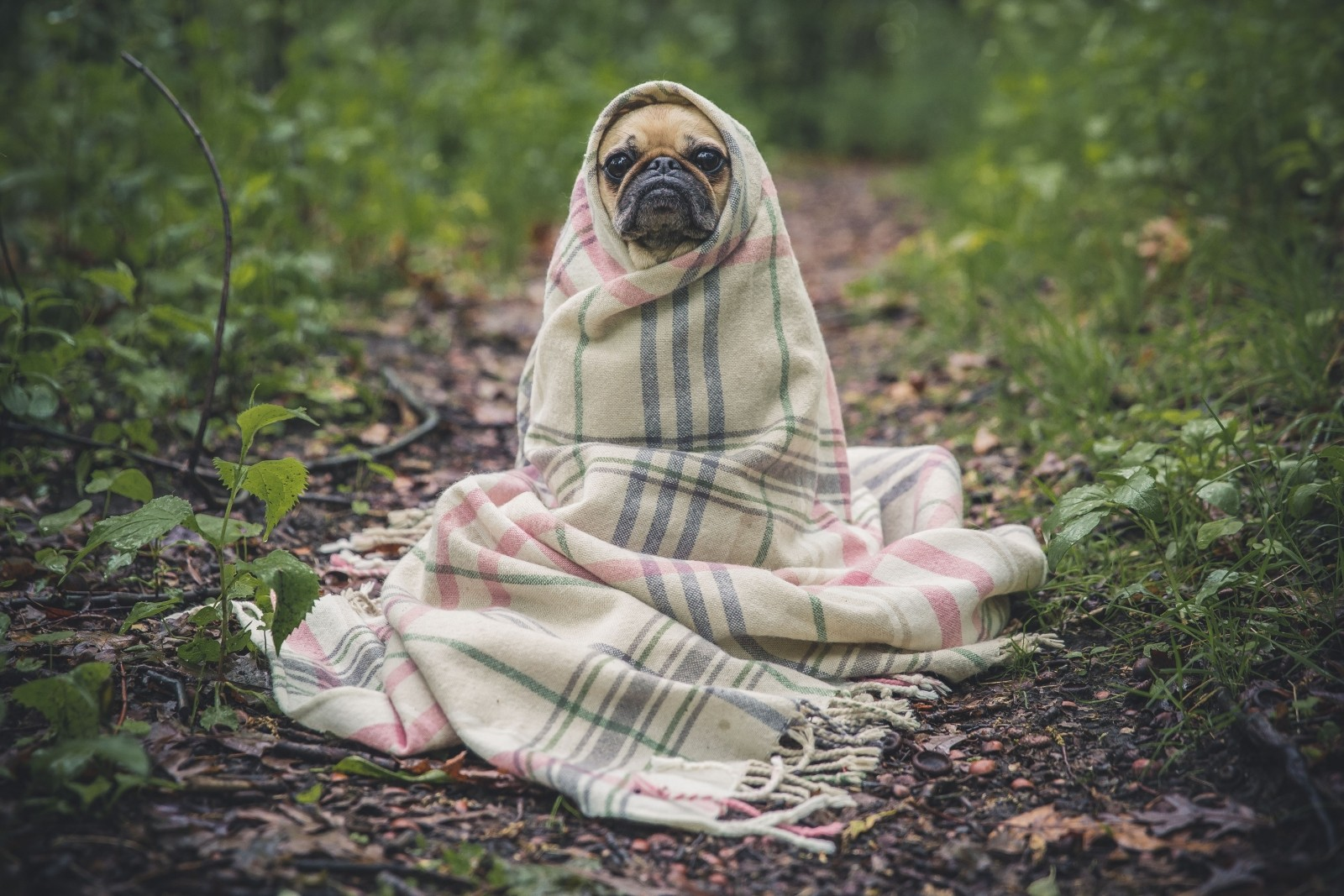 portrait-of-french-bulldog-wrapped-in-blanket-on-forest-path